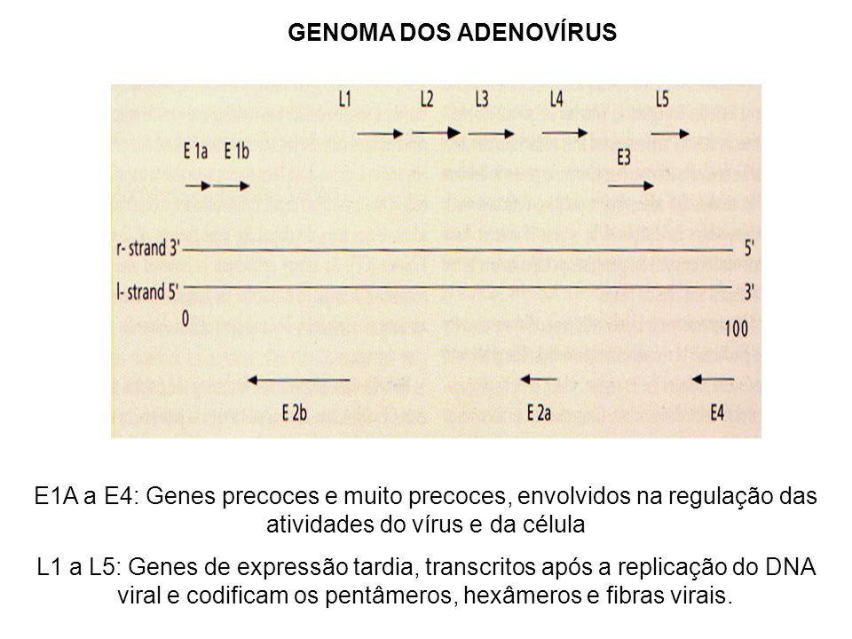 E1A a E4: Genes precoces e muito precoces, envolvidos na regulação das atividades do vírus e da célula L1 a L5: Genes de expressão tardia, transcritos