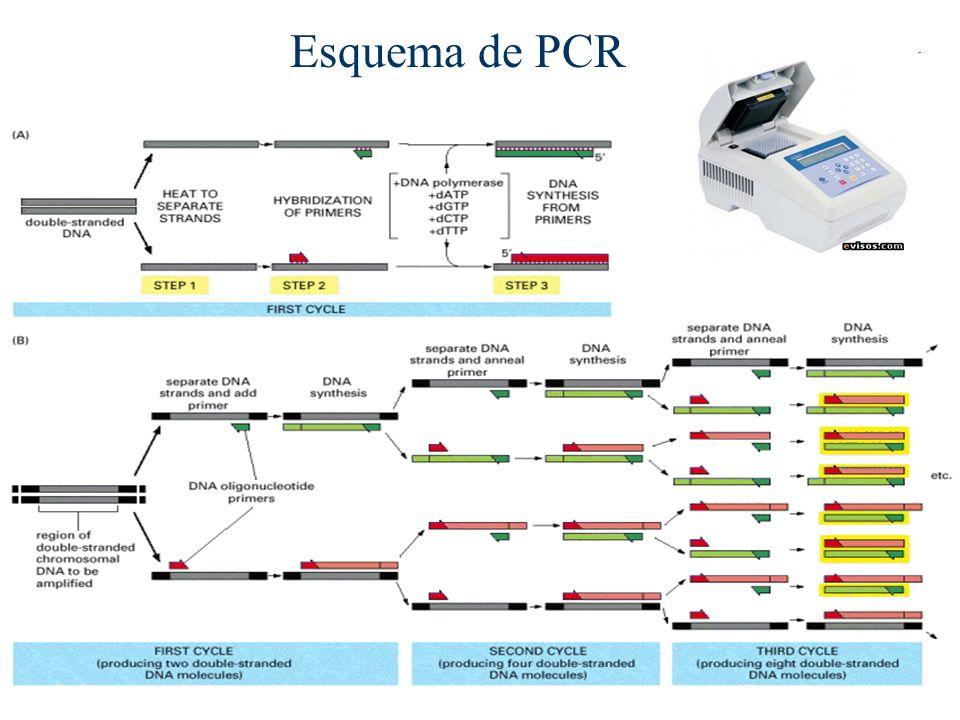 Esquema de PCR