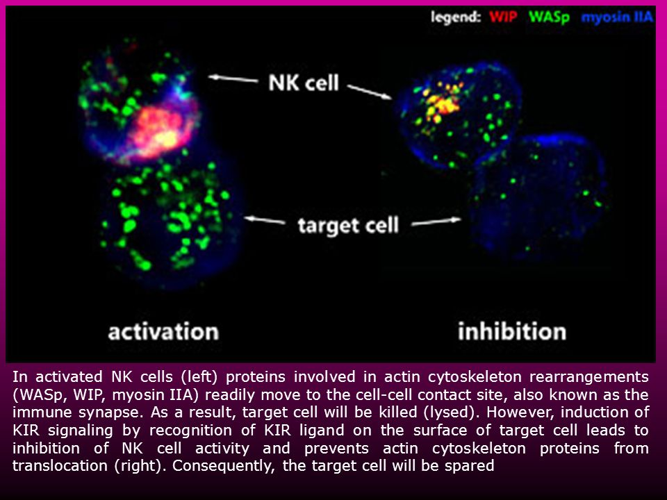 In activated NK cells (left) proteins involved in actin cytoskeleton rearrangements (WASp, WIP, myosin IIA) readily move to the cell-cell contact site