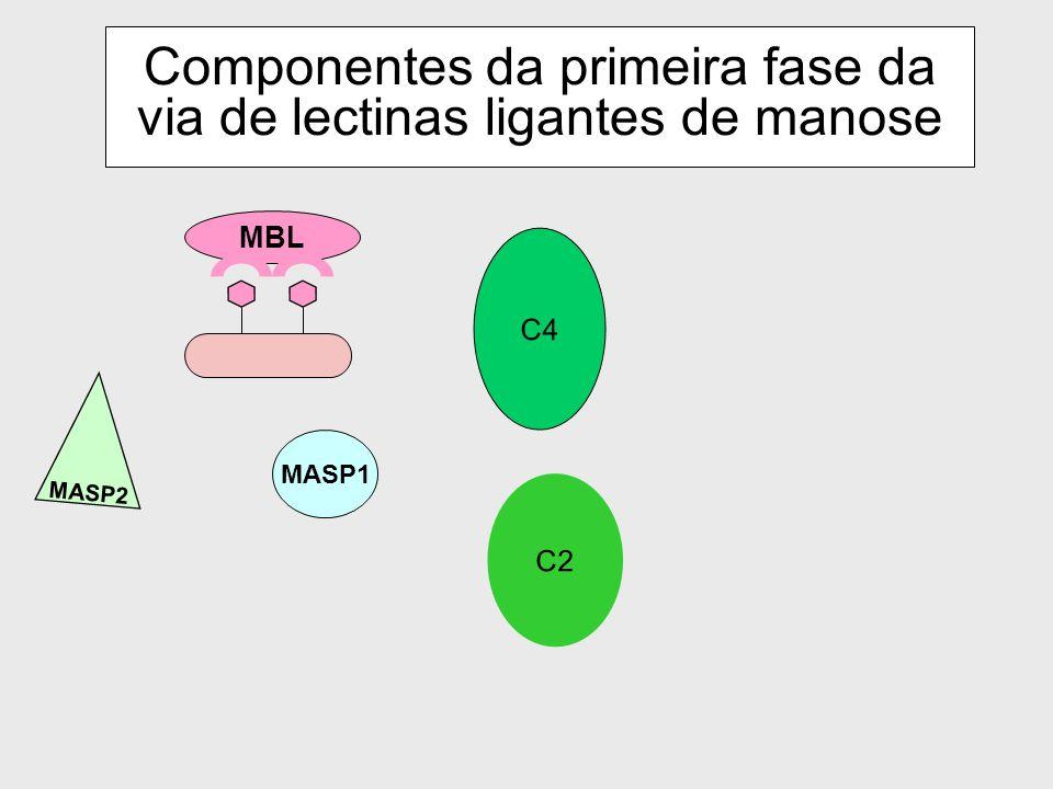 32 Via da lectina n MBL (Manose Binding Proteins) ligam-se aos resíduos de carboidratos na superfície da bactéria ou outra substância e passam por uma