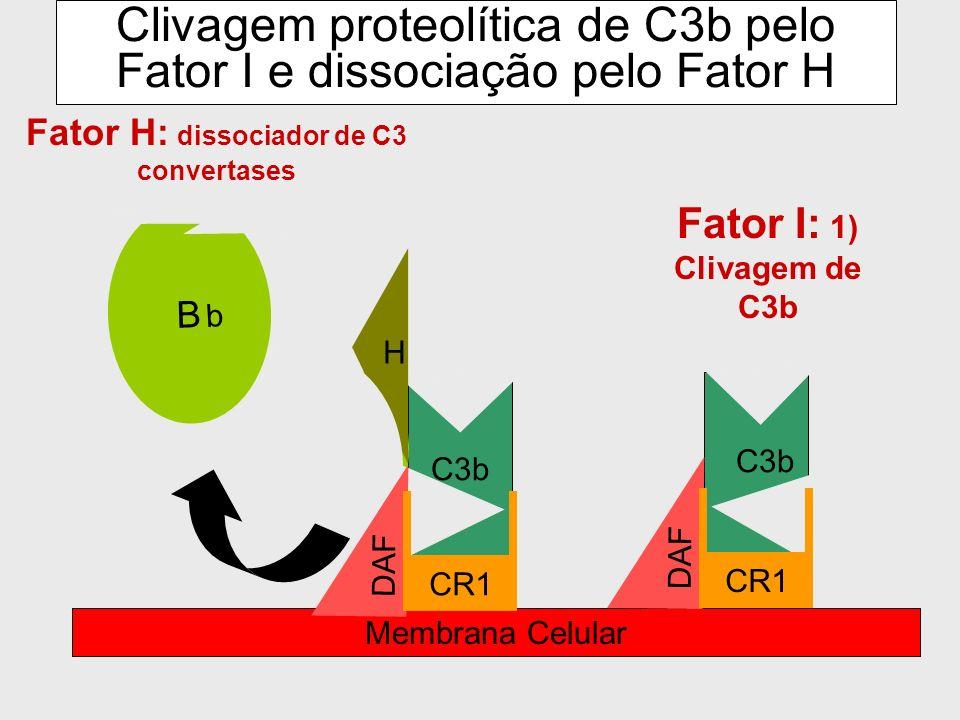 Impede a ligação do fator B para formar C3 convertase C3b 2) Evita a ligação do fator B em C3b B Membrana celular DAF CR1