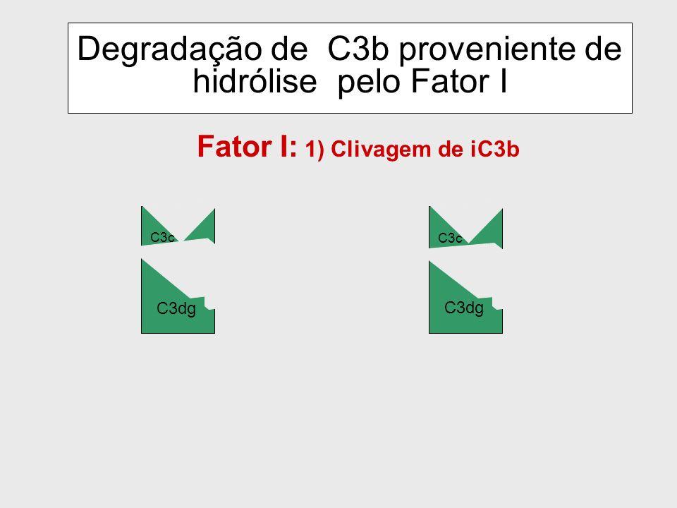 Membrana Celular C3b B b H I iC3b Clivagem proteolítica de C3b pelo Fator I e dissociação pelo Fator H B b I iC3b DAF CR1 DAF CR1 Fator H: dissociador