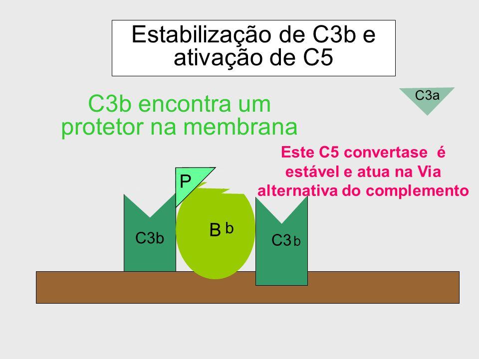 Degradação de C3b proveniente de hidrólise pelo Fator I C3b iC3b II C3dg C3c Fator I: 1) Clivagem de iC3b
