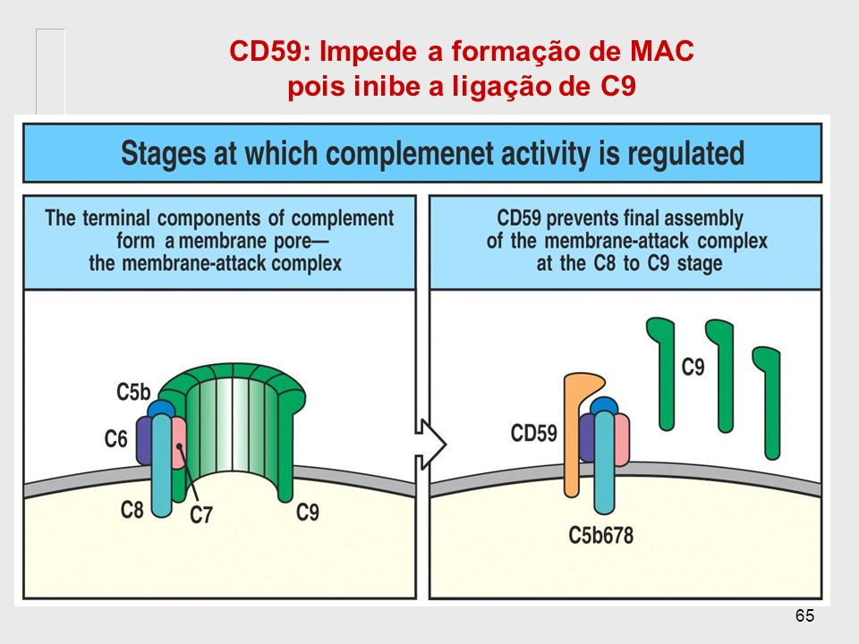 Estabilização de C3b e ativação de C5 C3b C3b encontra um protetor na membrana C3 C3a b B D b P Este C5 convertase é estável e atua na Via alternativa
