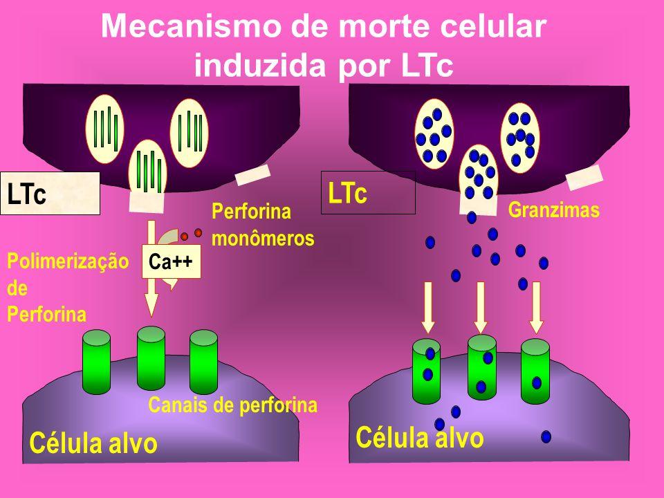 Mecanismo de morte celular induzida por LTc LTc Ca++ Perforina monômeros Polimerização de Perforina Canais de perforina LTc Célula alvo Granzimas Célu
