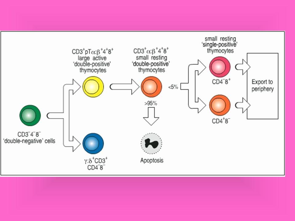 Mecanismo de morte celular induzida por LTc LTc Ca++ Perforina monômeros Polimerização de Perforina Canais de perforina LTc Célula alvo Granzimas Célula alvo