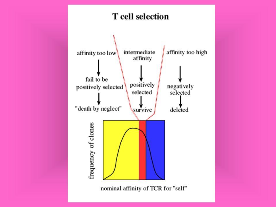 Mecanismos efetores de células NK Similares aos das células LTc Não são restritivas a MHC A susceptibilidade da célula alvo é inversamente proporcional à expressão de MHC-I (killer inhibitory receptors- KIR) nas células NK que reconhecem MHC classe I e protegem a célula da morte.