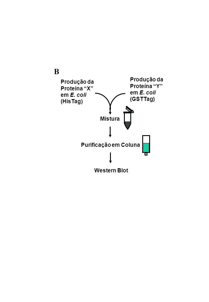 Produção da Proteína X em E. coli (HisTag) Produção da Proteína Y em E. coli (GSTTag) Mistura Western Blot Purificação em Coluna B