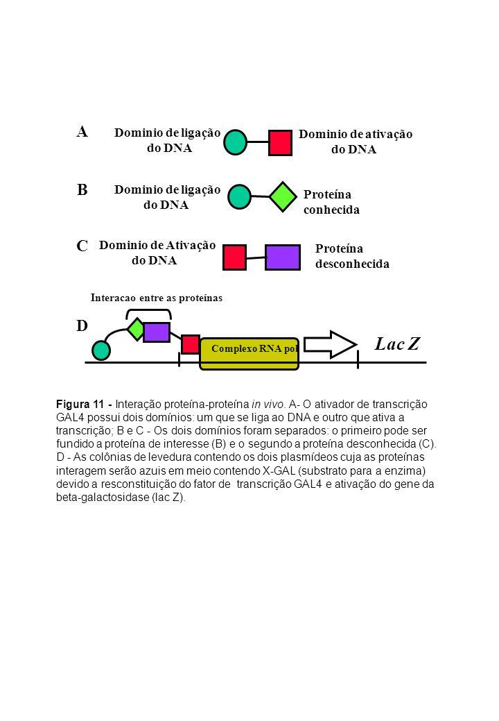 Figura 11 - Interação proteína-proteína in vivo. A- O ativador de transcrição GAL4 possui dois domínios: um que se liga ao DNA e outro que ativa a tra