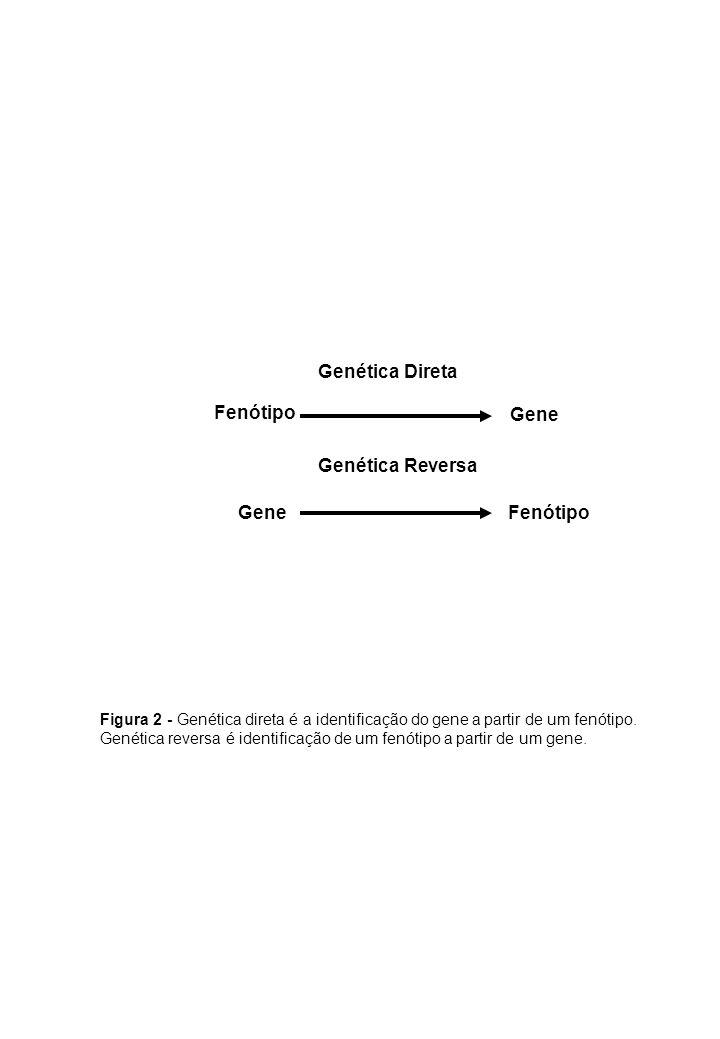 Genética Direta Genética Reversa Gene Fenótipo Figura 2 - Genética direta é a identificação do gene a partir de um fenótipo. Genética reversa é identi