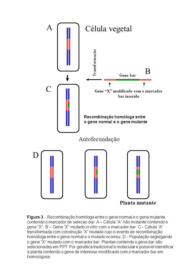 Gene bar Gene X modificado com o marcador bar inserido Transformação Autofecundação Planta mutante Célula vegetal Figura 3 - Recombinação homóloga ent