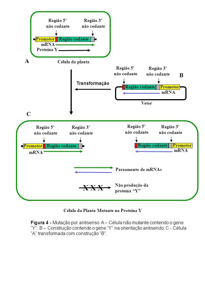 Figura 4 - Mutação por antisenso. A – Célula não mutante contendo o gene Y; B – Construção contendo o gene Y na orientação antisendo; C - Célula A tra