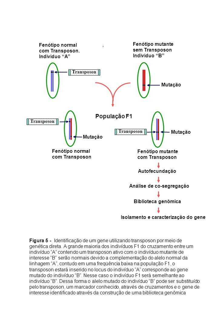 Mutação Fenótipo normal com Transposon. Indivíduo A Fenótipo mutante sem Transposon Indivíduo B Mutação Fenótipo mutante com Transposon Fenótipo norma