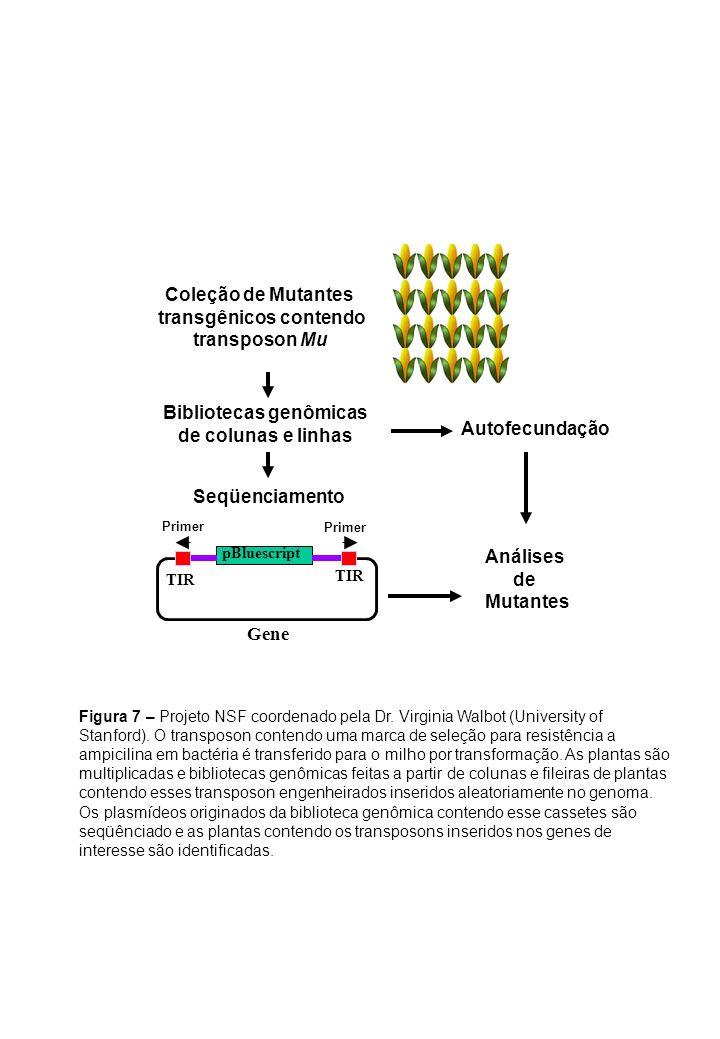 Coleção de Mutantes transgênicos contendo transposon Mu Bibliotecas genômicas de colunas e linhas Autofecundação Análises de Mutantes Seqüenciamento F