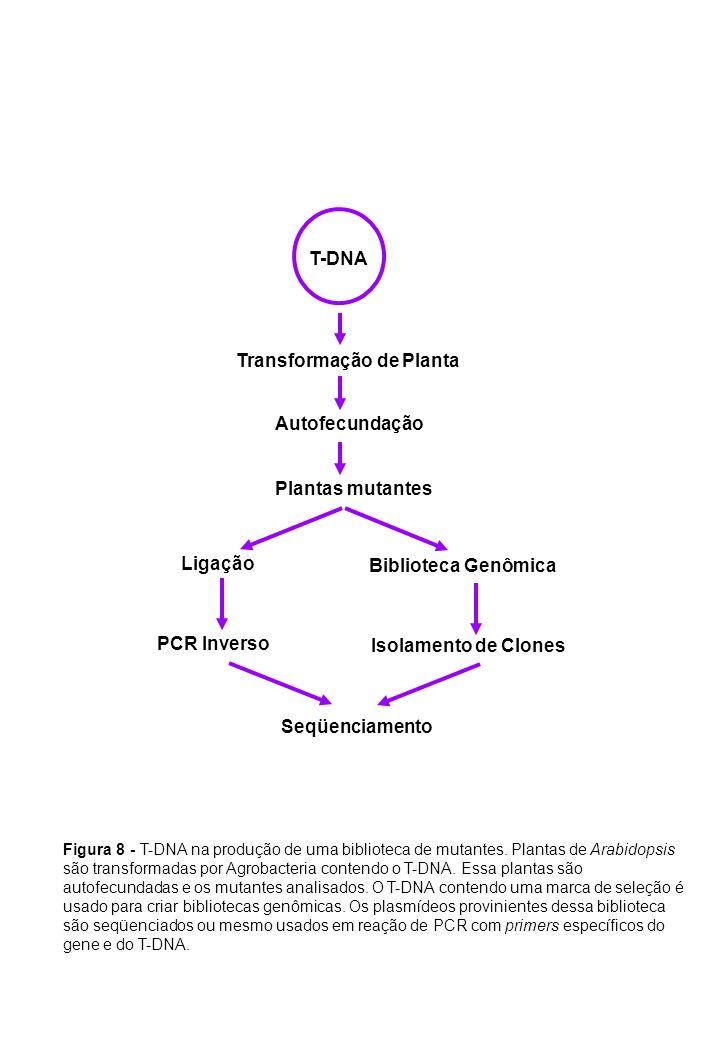 T-DNA Autofecundação Transformação de Planta Plantas mutantes PCR Inverso Biblioteca Genômica Ligação Seqüenciamento Isolamento de Clones Figura 8 - T
