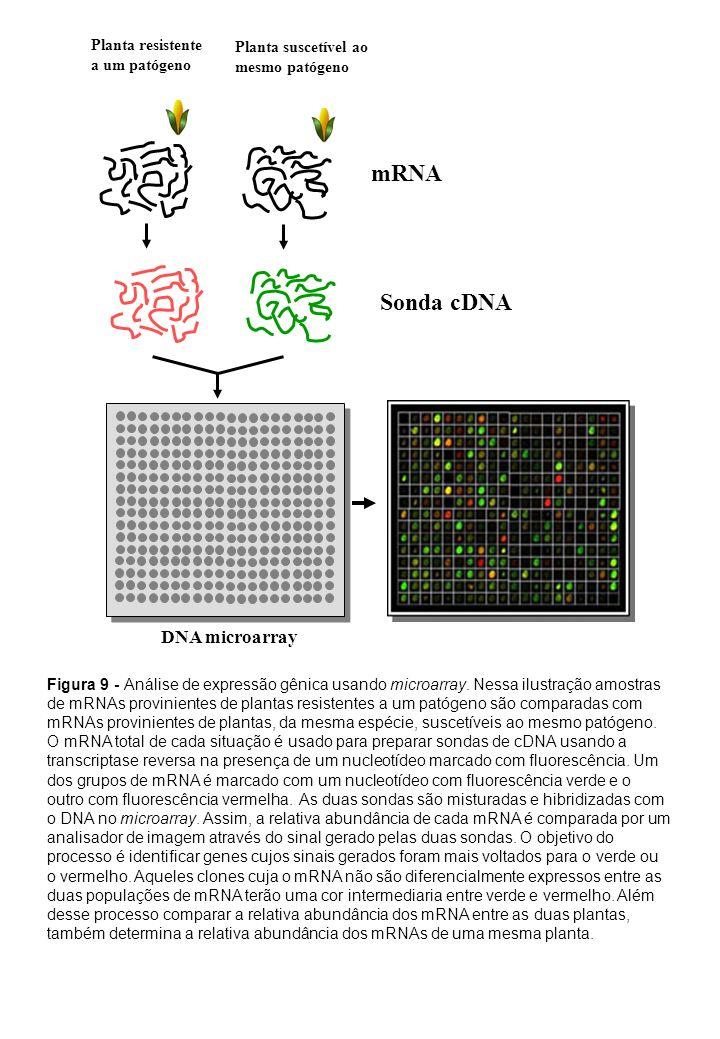 mRNA Sonda cDNA DNA microarray Figura 9 - Análise de expressão gênica usando microarray. Nessa ilustração amostras de mRNAs provinientes de plantas re
