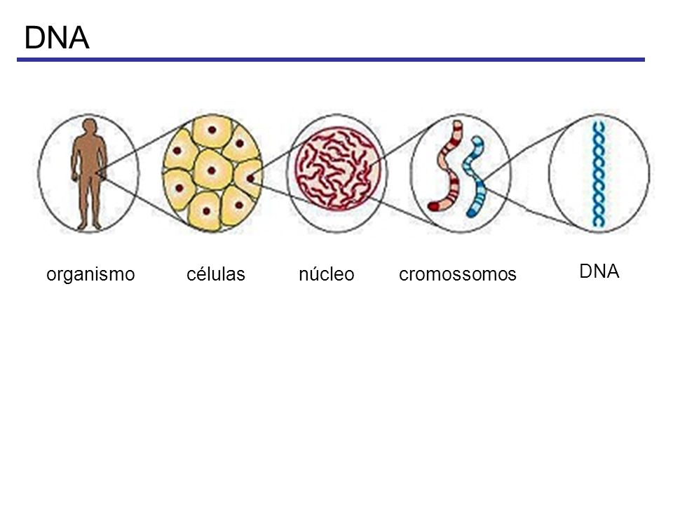 Dogma central da biologia molecular Animação: Carnegie Mellon