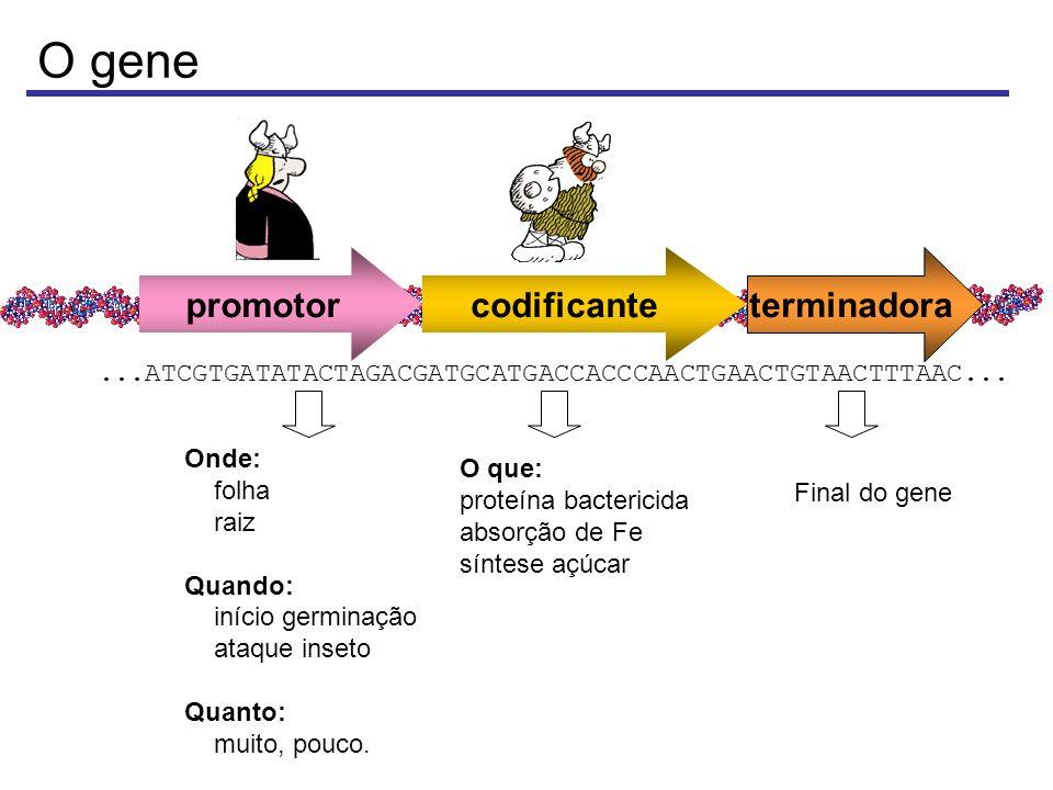 DNA recombinante ou transgene PromotorhGH Terminador 4.