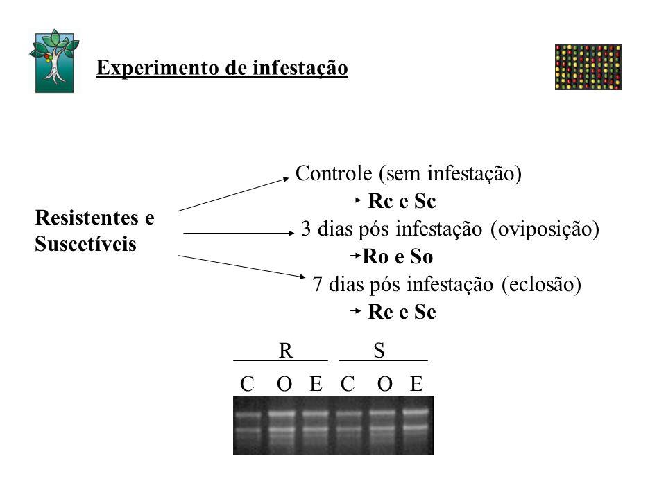 Experimento de infestação RS Resistentes e Suscetíveis 3 dias pós infestação (oviposição) 7 dias pós infestação (eclosão) Ro e So Re e Se Rc e Sc Cont