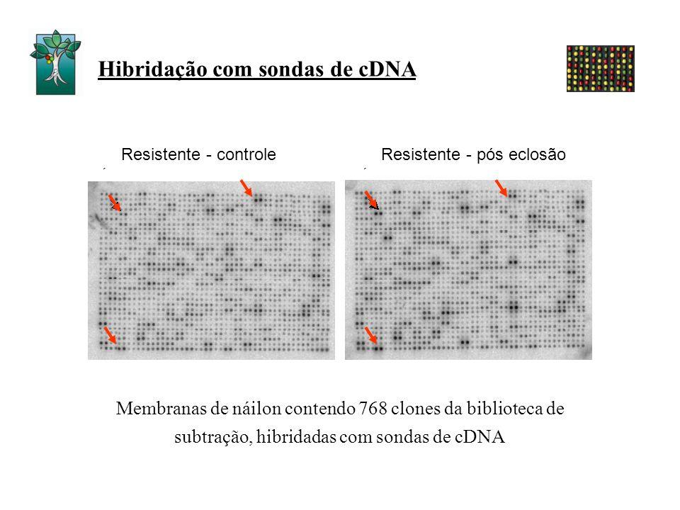 Hibridação com sondas de cDNA Membranas de náilon contendo 768 clones da biblioteca de subtração, hibridadas com sondas de cDNA Resistente - controleR