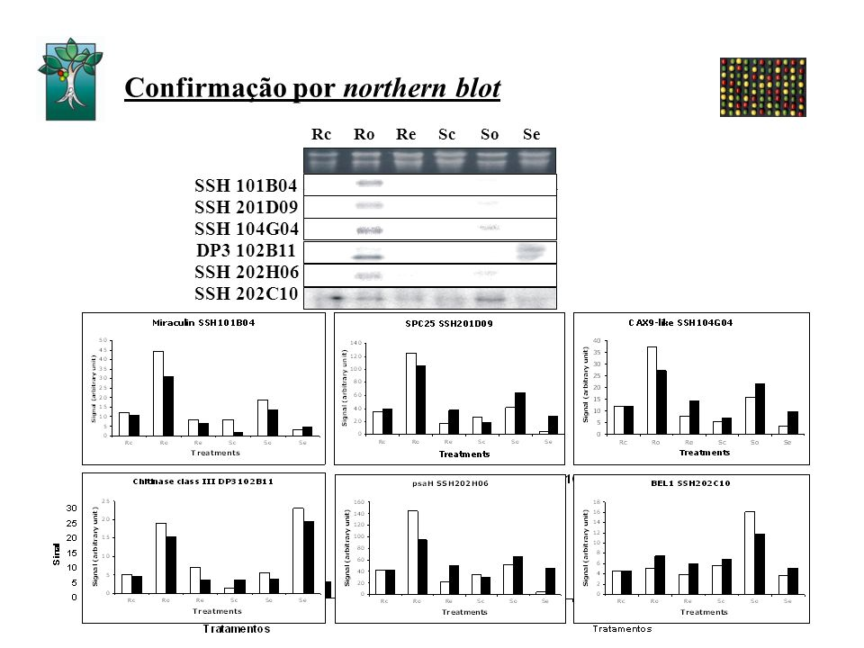 Confirmação por northern blot RcRoReScSeSo SSH 101B04 SSH 201D09 SSH 104G04 SSH 202H06 SSH 202C10 DP3 102B11
