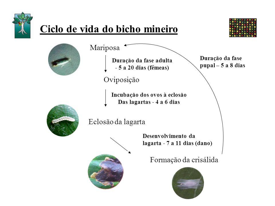 Ciclo de vida do bicho mineiro Incubação dos ovos à eclosão Das lagartas - 4 a 6 dias Desenvolvimento da lagarta - 7 a 11 dias (dano) Mariposa Oviposi