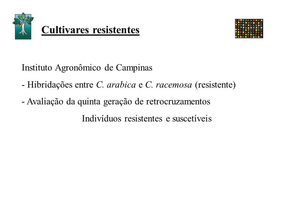 Instituto Agronômico de Campinas - Hibridações entre C. arabica e C. racemosa (resistente) - Avaliação da quinta geração de retrocruzamentos Indivíduo