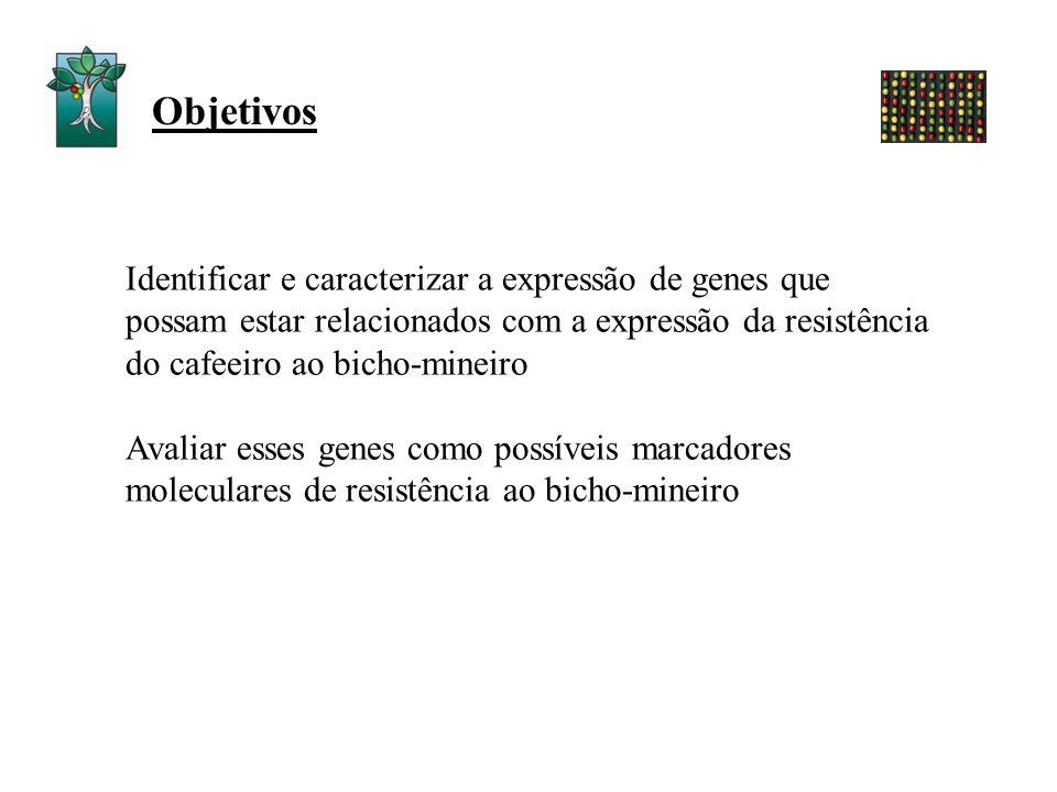 Identificar e caracterizar a expressão de genes que possam estar relacionados com a expressão da resistência do cafeeiro ao bicho-mineiro Avaliar esse