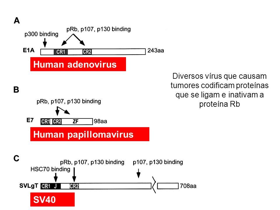 Human adenovirus Human papillomavirus SV40 Diversos vírus que causam tumores codificam proteínas que se ligam e inativam a proteína Rb