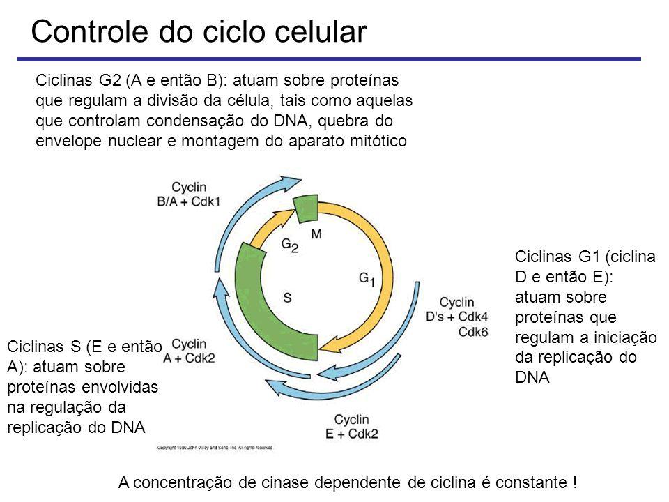 Ciclinas G2 (A e então B): atuam sobre proteínas que regulam a divisão da célula, tais como aquelas que controlam condensação do DNA, quebra do envelope nuclear e montagem do aparato mitótico Ciclinas G1 (ciclina D e então E): atuam sobre proteínas que regulam a iniciação da replicação do DNA Ciclinas S (E e então A): atuam sobre proteínas envolvidas na regulação da replicação do DNA A concentração de cinase dependente de ciclina é constante !