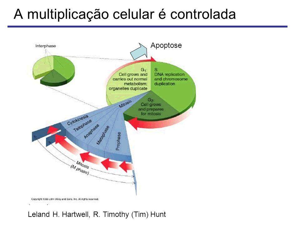 A multiplicação celular é controlada Prêmio Nobel em Fisiologia ou Medicina (2001) Leland H.