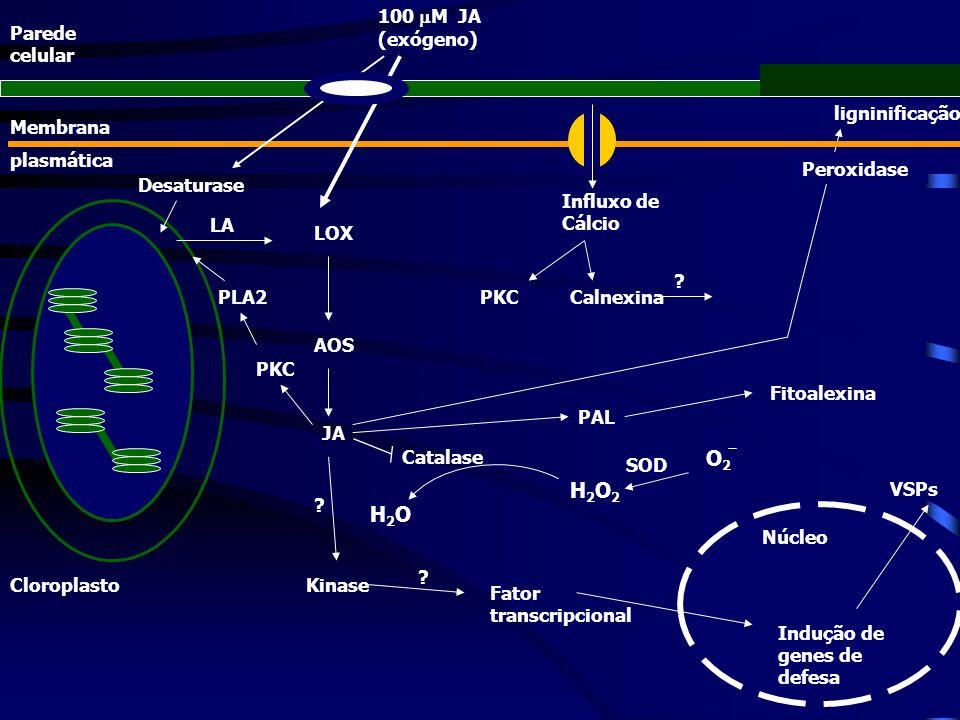 ligninificação Peroxidase Fitoalexina PAL Cloroplasto 100 M JA (exógeno) LOX AOS JA Catalase H2OH2O H2O2H2O2 ? Kinase Fator transcripcional Núcleo ? I