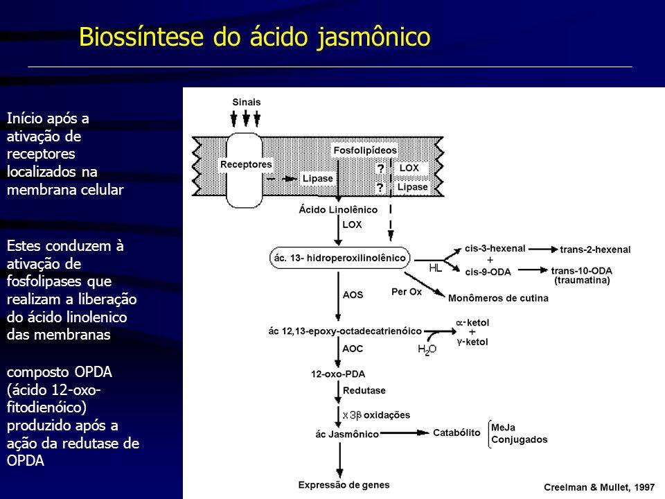 Biossíntese do ácido jasmônico Início após a ativação de receptores localizados na membrana celular Estes conduzem à ativação de fosfolipases que real