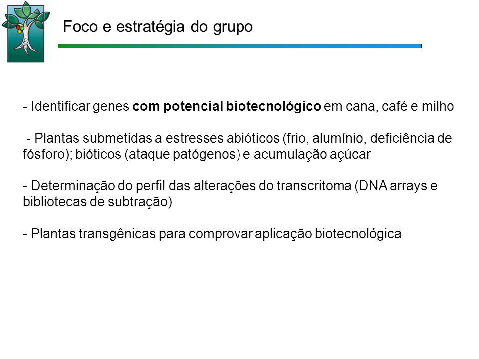 - Identificar genes com potencial biotecnológico em cana, café e milho - Plantas submetidas a estresses abióticos (frio, alumínio, deficiência de fósforo); bióticos (ataque patógenos) e acumulação açúcar - Determinação do perfil das alterações do transcritoma (DNA arrays e bibliotecas de subtração) - Plantas transgênicas para comprovar aplicação biotecnológica Foco e estratégia do grupo