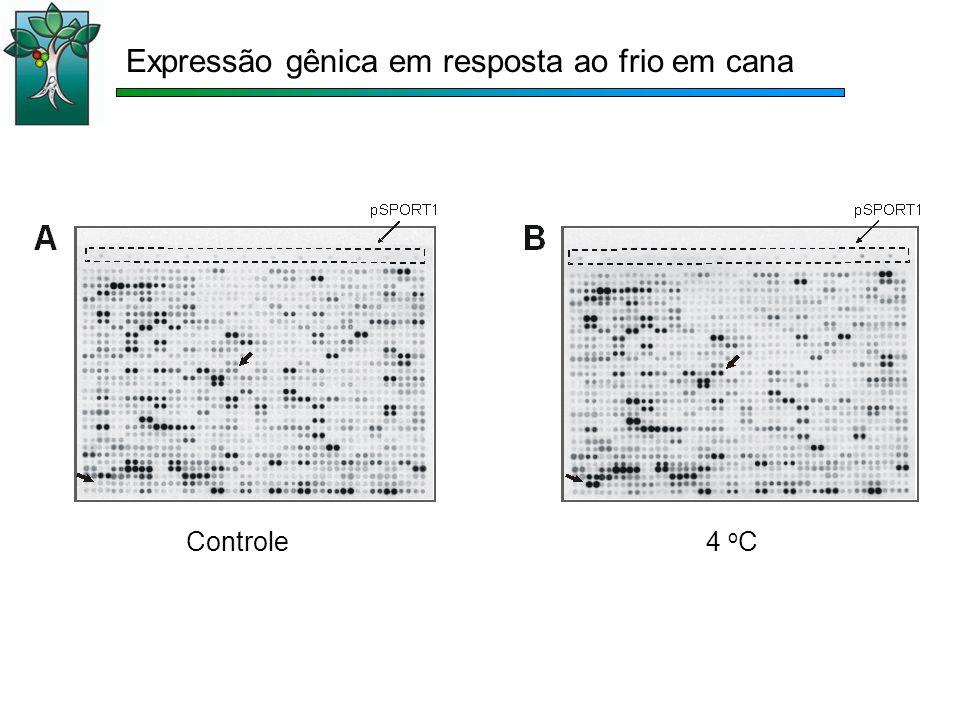Expressão gênica em resposta ao frio em cana Controle4 o C