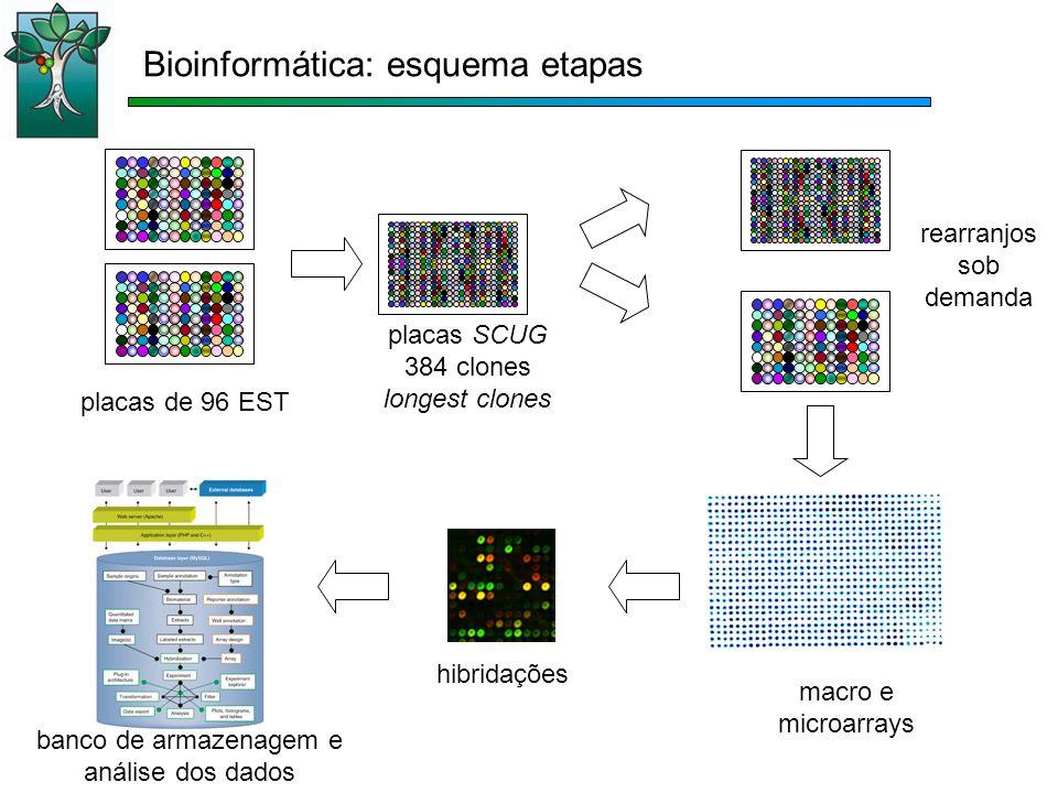 placas de 96 EST placas SCUG 384 clones longest clones rearranjos sob demanda macro e microarrays Bioinformática: esquema etapas hibridações banco de armazenagem e análise dos dados