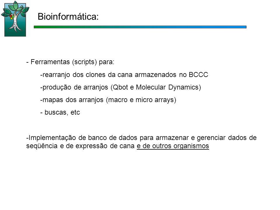 Bioinformática: - Ferramentas (scripts) para: -rearranjo dos clones da cana armazenados no BCCC -produção de arranjos (Qbot e Molecular Dynamics) -mapas dos arranjos (macro e micro arrays) - buscas, etc -Implementação de banco de dados para armazenar e gerenciar dados de seqüência e de expressão de cana e de outros organismos