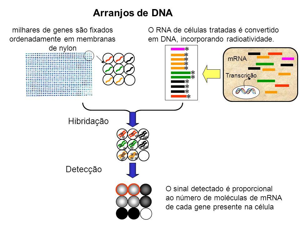 milhares de genes são fixados ordenadamente em membranas de nylon * * * * * * * * * * * O RNA de células tratadas é convertido em DNA, incorporando radioatividade.