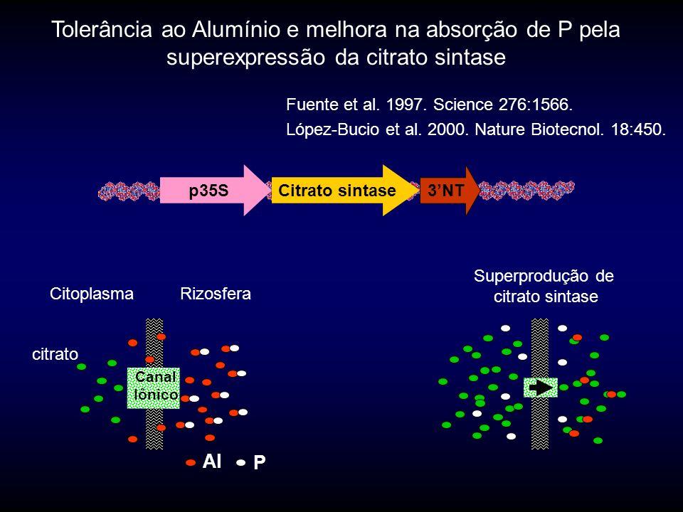 Tolerância ao Alumínio e melhora na absorção de P pela superexpressão da citrato sintase p35SCitrato sintase 3NT Fuente et al.