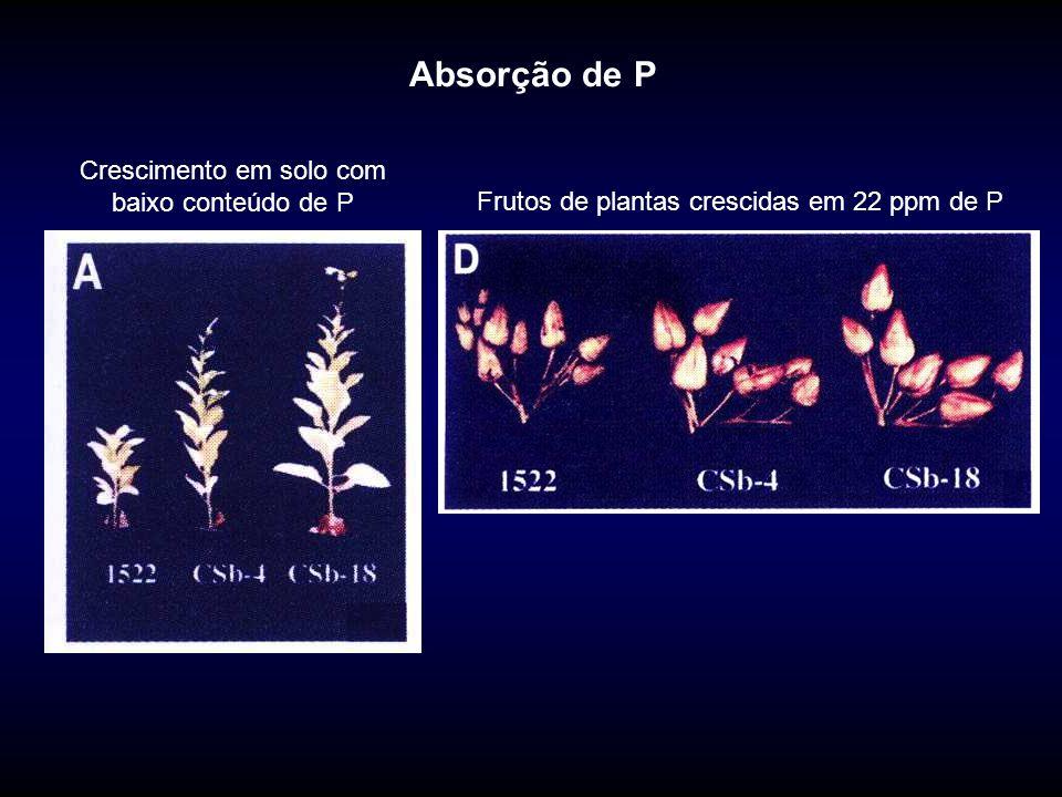 Absorção de P Crescimento em solo com baixo conteúdo de P Frutos de plantas crescidas em 22 ppm de P