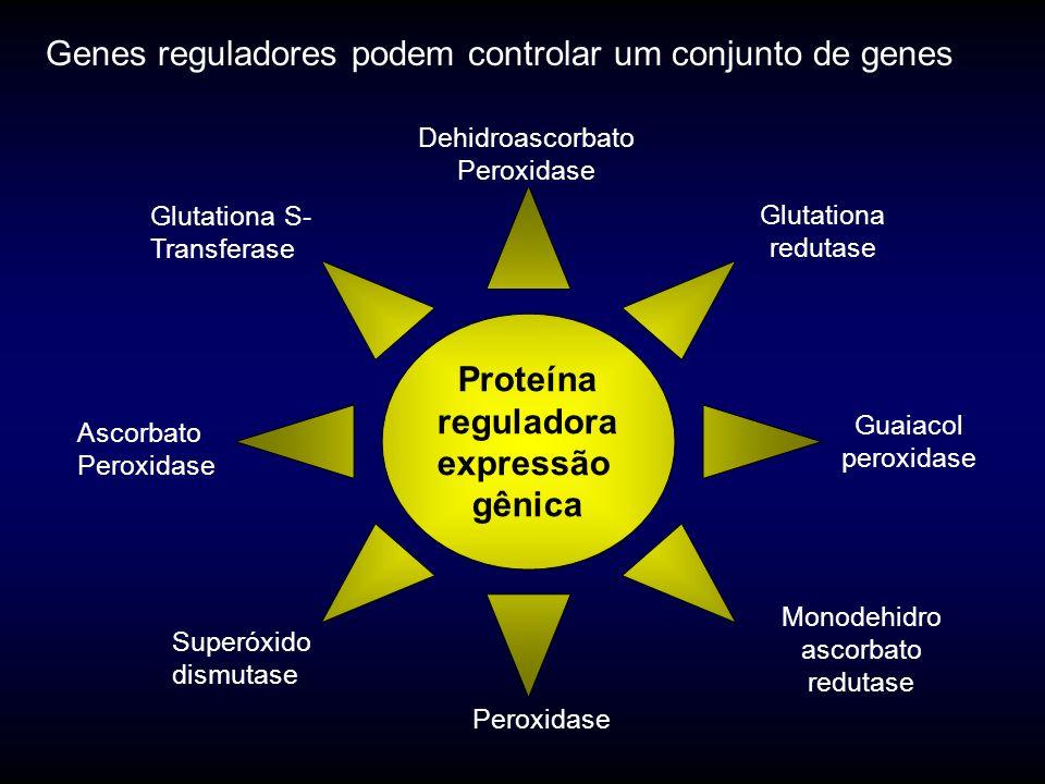 Proteína reguladora expressão gênica Glutationa S- Transferase Guaiacol peroxidase Glutationa redutase Peroxidase Genes reguladores podem controlar um conjunto de genes Ascorbato Peroxidase Dehidroascorbato Peroxidase Monodehidro ascorbato redutase Superóxido dismutase