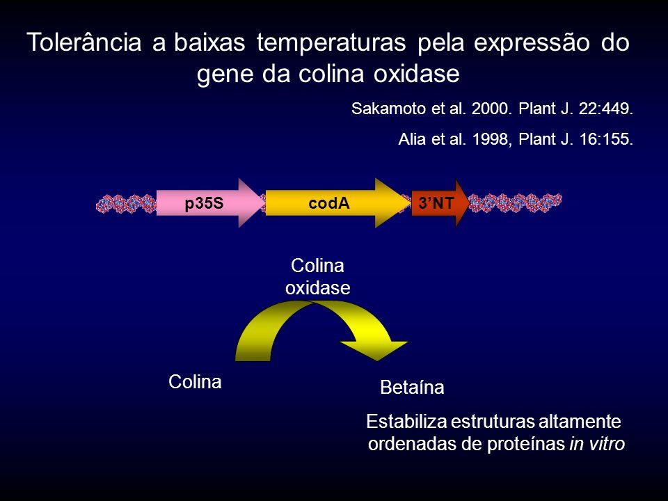 Efeitos protetor do gene codA em sementes expostas a altas temperaturas sementes mantidas 60 minutos a 22 o C, 40 o C, 50 o C e 55 o C transferidas a 22 o C durante 3 dias