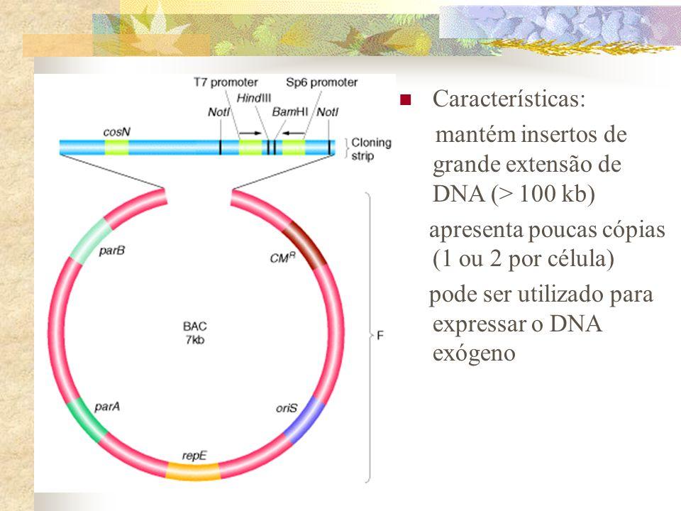 Características: mantém insertos de grande extensão de DNA (> 100 kb) apresenta poucas cópias (1 ou 2 por célula) pode ser utilizado para expressar o