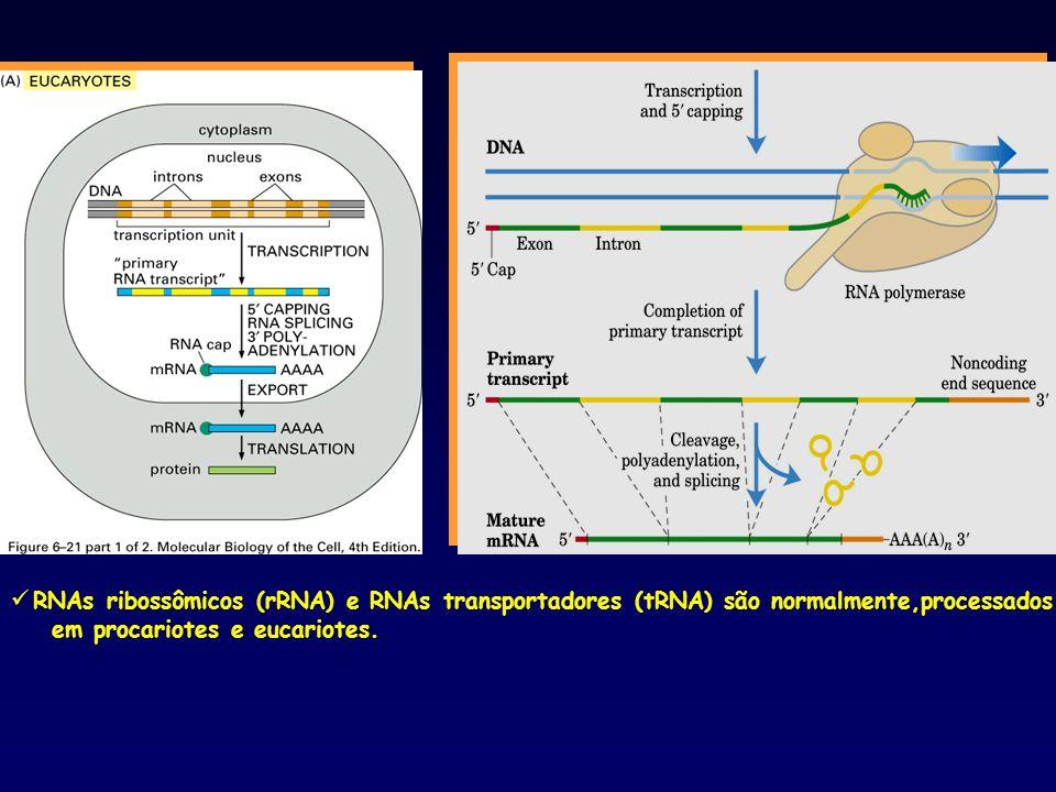 RNAs ribossômicos (rRNA) e RNAs transportadores (tRNA) são normalmente,processados em procariotes e eucariotes.