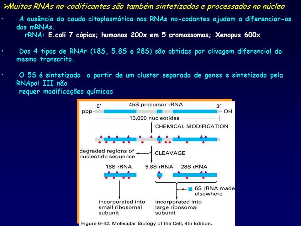 Muitos RNAs no-codificantes são também sintetizados e processados no núcleo A ausência da cauda citoplasmática nos RNAs no-codantes ajudam a diferenci