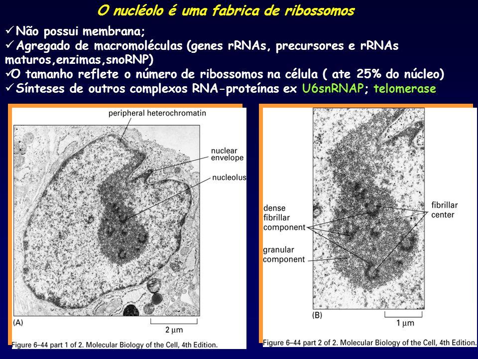 O nucléolo é uma fabrica de ribossomos Não possui membrana; Agregado de macromoléculas (genes rRNAs, precursores e rRNAs maturos,enzimas,snoRNP) O tam