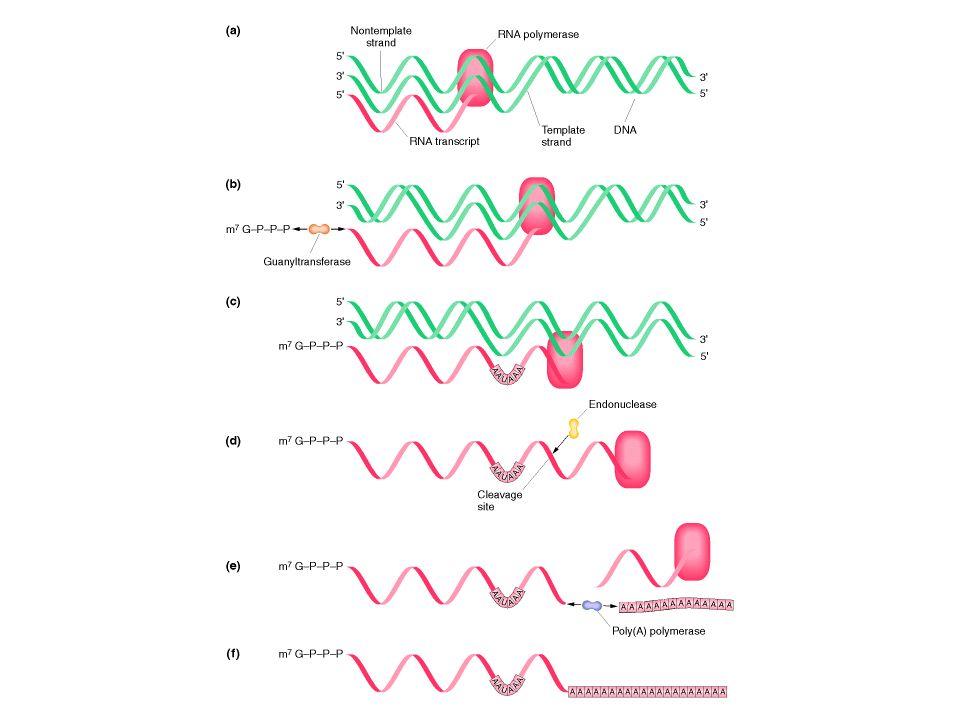 mRNAs maturos são seletivamente exportados Como a célula distingue entre os mRNAs relativamente maduros e a enorme quantidade de lixo A resposta esta no transporte do núcleo para o citoplasma, o qual é altamente seletivo.