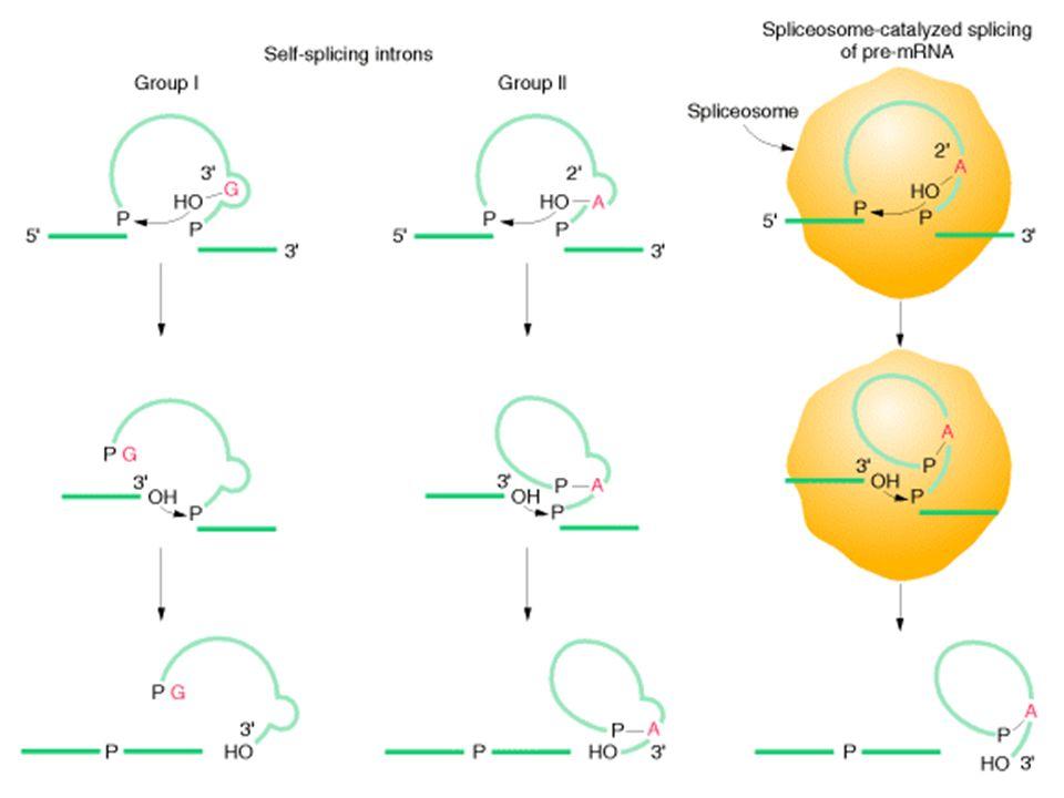 Splicing de tRNAs Acontece por reações de clivagem e ligação separadas.