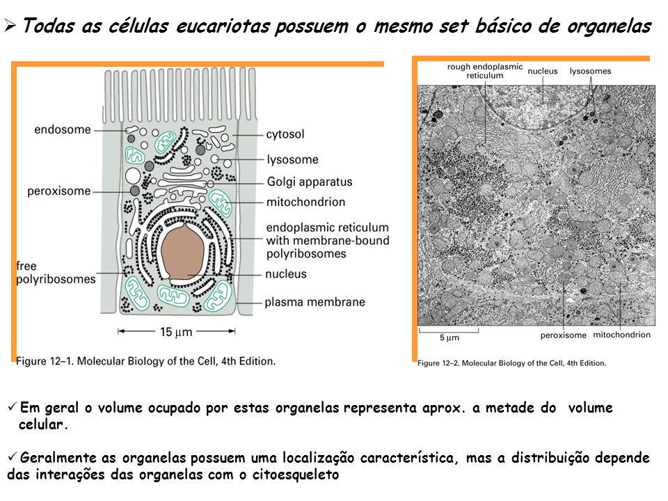 Proteínas podem se mover entre compartimentos em diferente forma Todas as proteínas são sintetizadas no citosol, exceto aquelas que são sintetizadas em ribossomos na mitocôndria e seu subseqüente direcionamento depende da sua seqüência de aa a)Transporte direto: entre o núcleo e o citosol b) Transporte de transmembrana: translocadores de proteínas ligadas a membrana transportam especificas proteínas c) Transporte vesicular: pequenas ou grandes vesículas podem transportar material de um compartimento a outro fusionando-se com a membrana * Estes 3 tipos de transporte é mediado por sinais ptes nas proteínas e reconhecidos por receptores