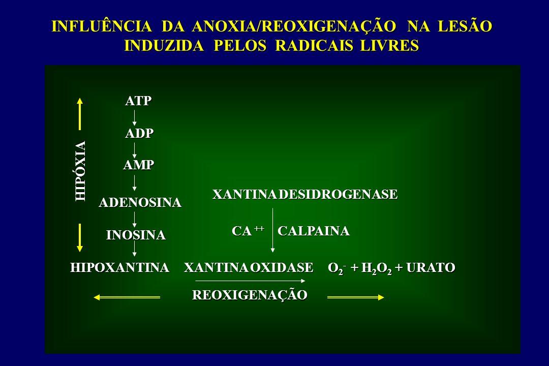 ATP ADP AMP ADENOSINA INOSINA HIPOXANTINA XANTINA DESIDROGENASE CA ++ CALPAINA XANTINA OXIDASE O 2 - + H 2 O 2 + URATO REOXIGENAÇÃO HIPÓXIA INFLUÊNCIA